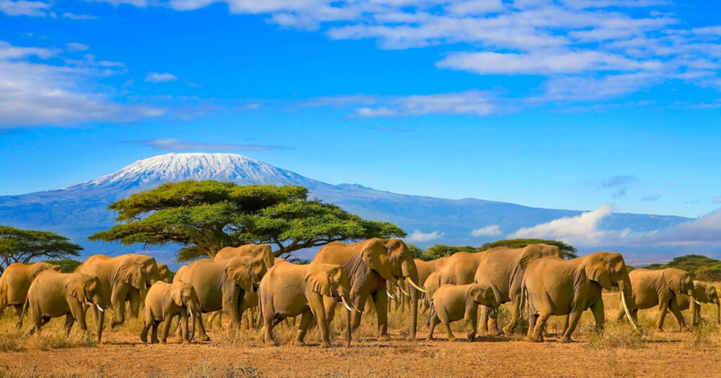 Herd of african elephants on a safari trip to Kenya and a snow capped Kilimanjaro mountain in Tanzania in the background.