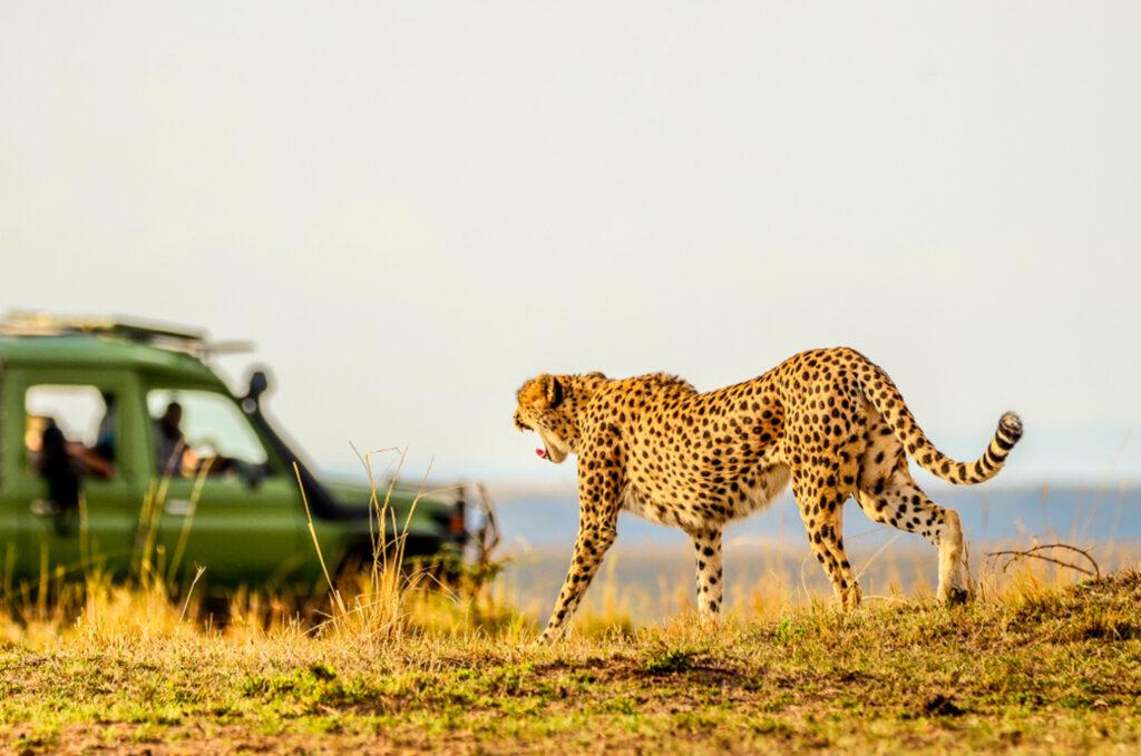 Cheetah in Maasai Mara National Reserve